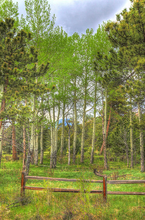 A stand of aspens in Rocky Mountain National Park, CO.