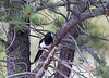 Black-billed Magpie (pica hudsonia), also known as the American Magpie.  Member of the crow family.  Sheep Lakes,  Rocky Mountain National Park.  Colorado.