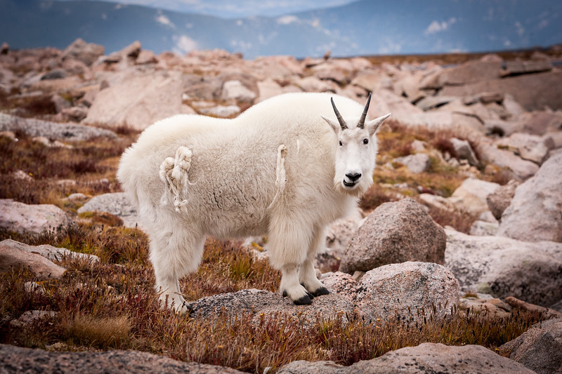 Mt Evans Mountain Goat
