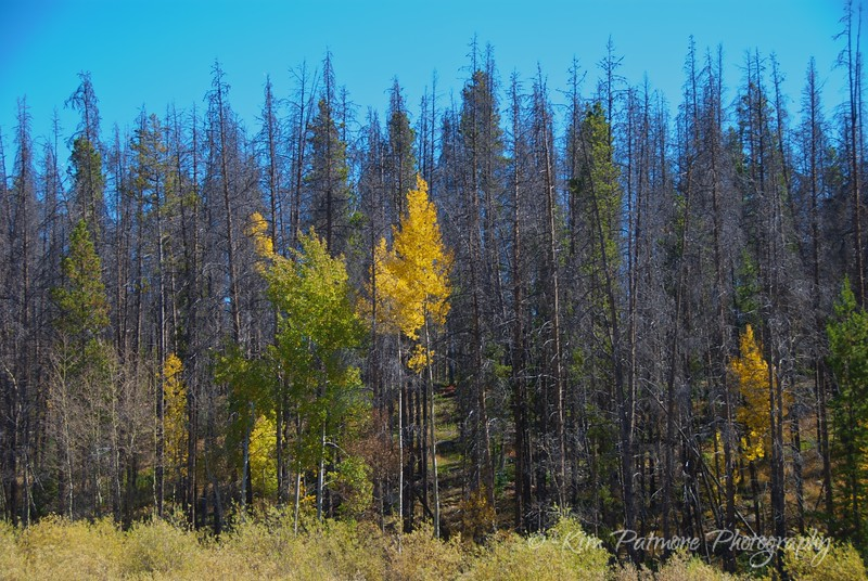 Rocky Mountain National Park, Colorado - Beetle Impact on Lodgepole Pines