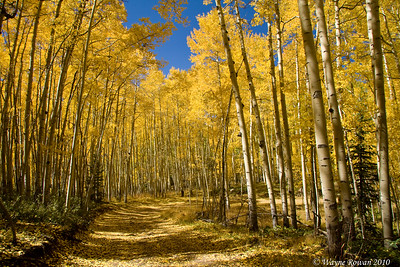Beautiful Stand of Aspen