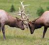 Rocky Mountain Elk (cervus canadensis nelsoni).   Trail Ridge Road, Rocky Mountain National Park.   August.  10,856' elevation.