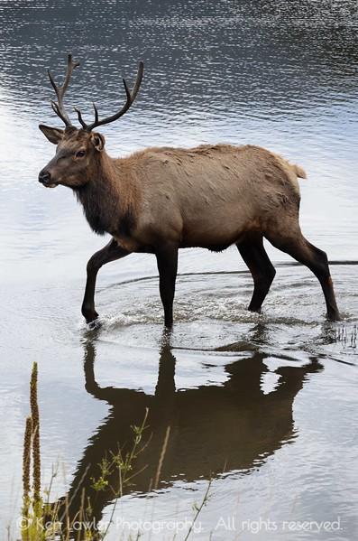 Bull Elk in water I