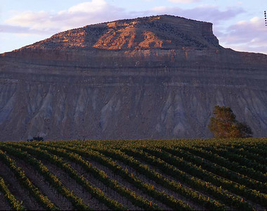 Grand River Vineyards, Grand Junction Co./ Vineyards with Mt. Lincoln in the background with grapes on the vine in the for ground. 798H1