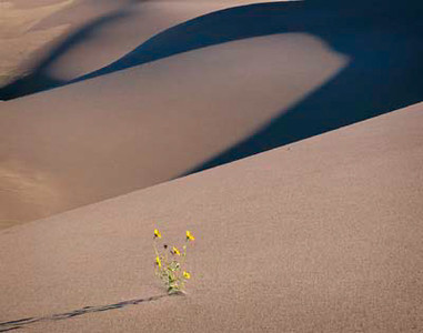 Great Sand Dunes National Monument.CO /  Prairie Sunflowers (Helianthus petiolaris)  flowering on the dunes in morning shadows. 999H8