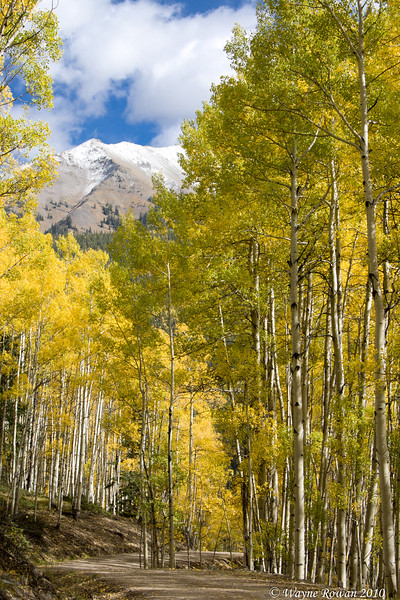 Yellow Aspens and Snowy Peak