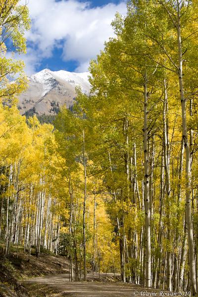 Yellow Aspens and Snowy Peak