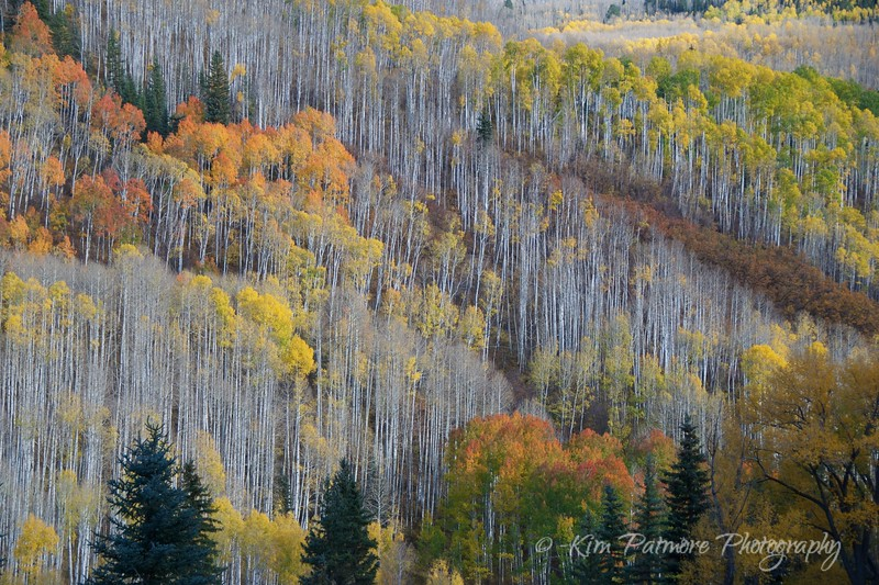 Autumn Aspens, Telluride, Colorado