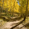 Yellow Aspens by Road