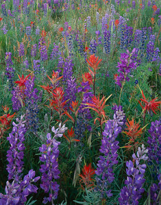 Rio Grande National For., COL/Colorado. Carpets of Silvery Lupine (Lupinus argenteus), Indian Paintbrush (Castilleja miniata) & Alpine Penstemon (Penstemon alpinus).797V9
