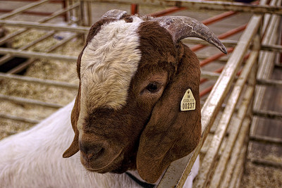 Kids' Goat