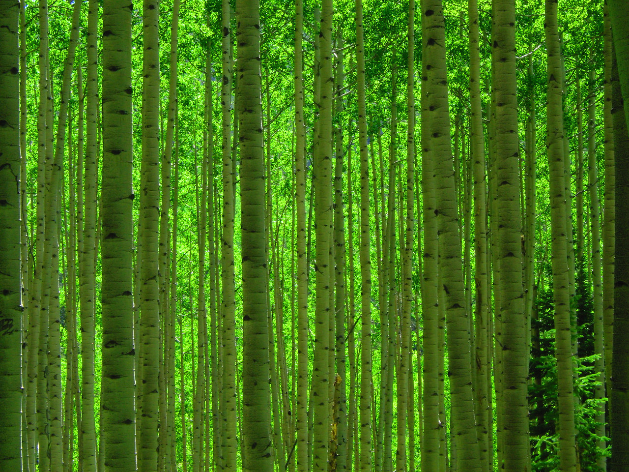 Aspen grove along Ohio Pass just outside of Crested Butte, CO
