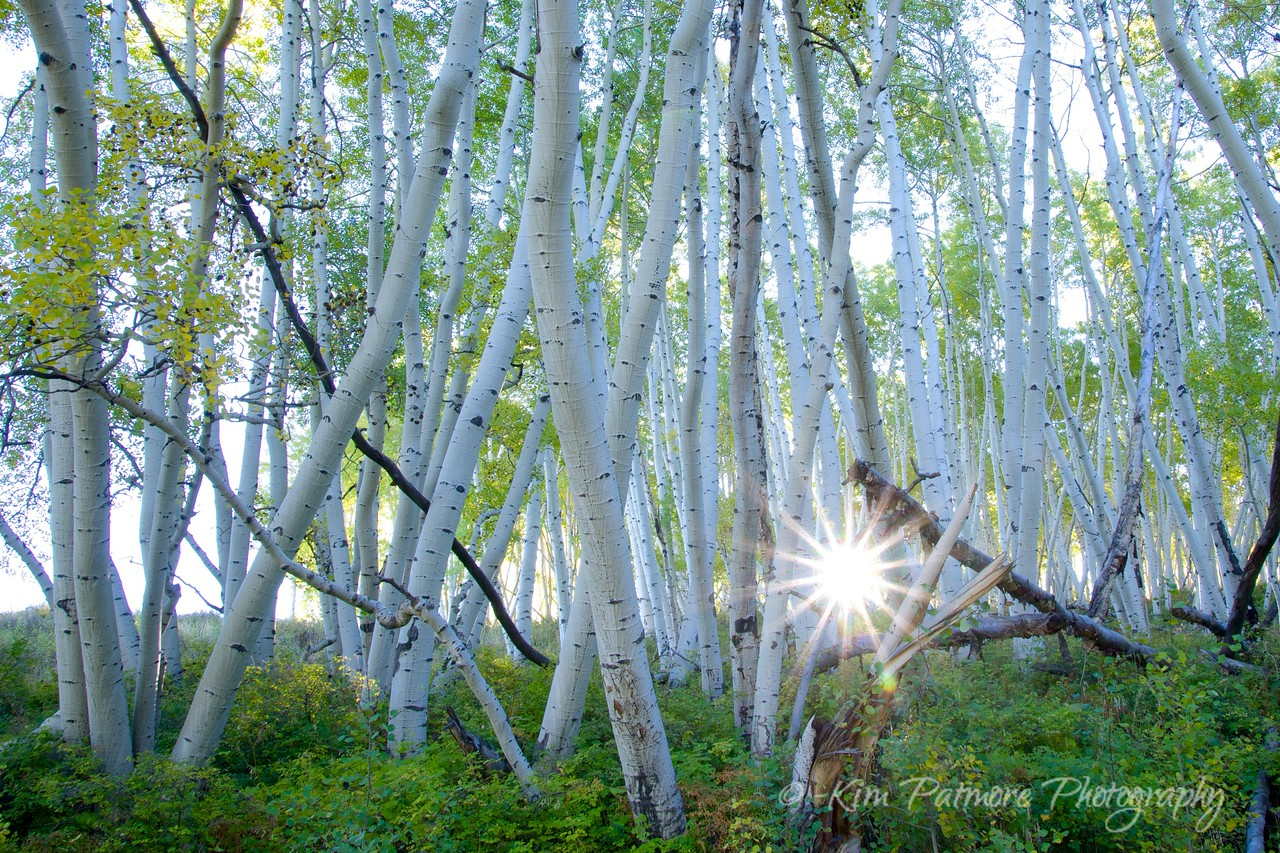 Early morning sun star among the Aspens