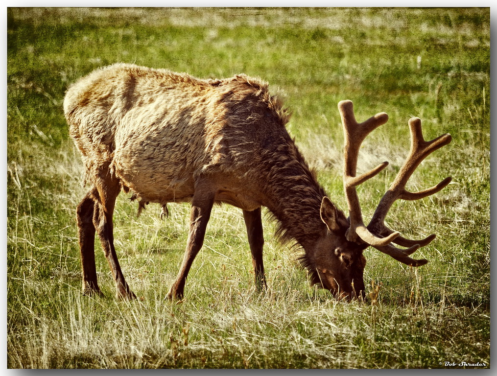 Male Elk Grazing