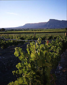 Colorado Cellers vineyards, Grand Junction Co./  Mt/ Lincoln in the background with grapes on the vine. 798V1