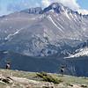 Elk Overlooking Longs Peak
