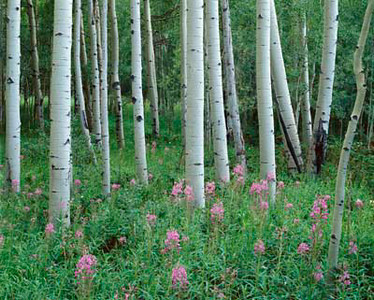 Arapaho National Forest, COL/Flowering fireweed (Epilobium angustifolium) & quaking aspen (Populus tremuloides). 794h6