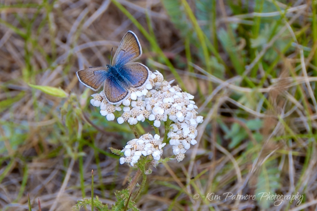Common Blue Butterfly, Summit County, Colorado