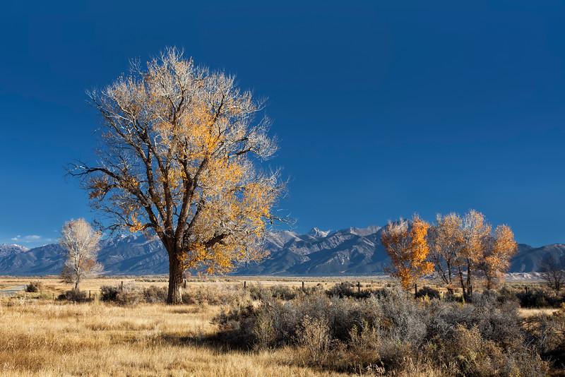 Colorado Cottonwood Trees and Mountain Backdrop