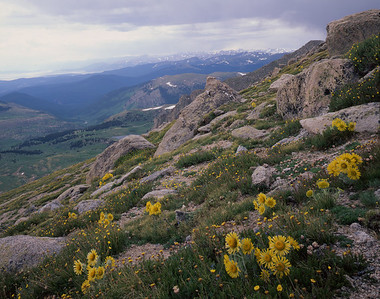 Arapaho National Forest, COL/Mount Evans tundra with Rocky Mountain National Park in the background. Flower- ing Alpine Sunflowers (Hymenoxys grandiflora)foreground.711H5