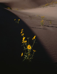 Great Sand Dunes National, COL/Monument. Prarie Sunflowers (Helianthus petiolaris) flowering on the dunes amid morning shadows. 892v5
