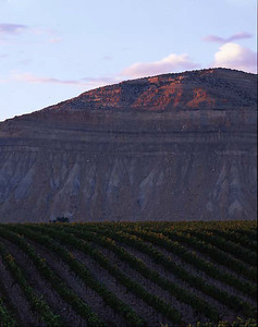 Grand River Vineyards, Grand Junction Co./ Vineyards with Mt. Lincoln in the background with grapes on the vine in the for ground. 798V1
