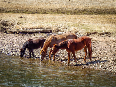 Horses drinking River Bed Colorado