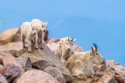 Goats of Mt Evans