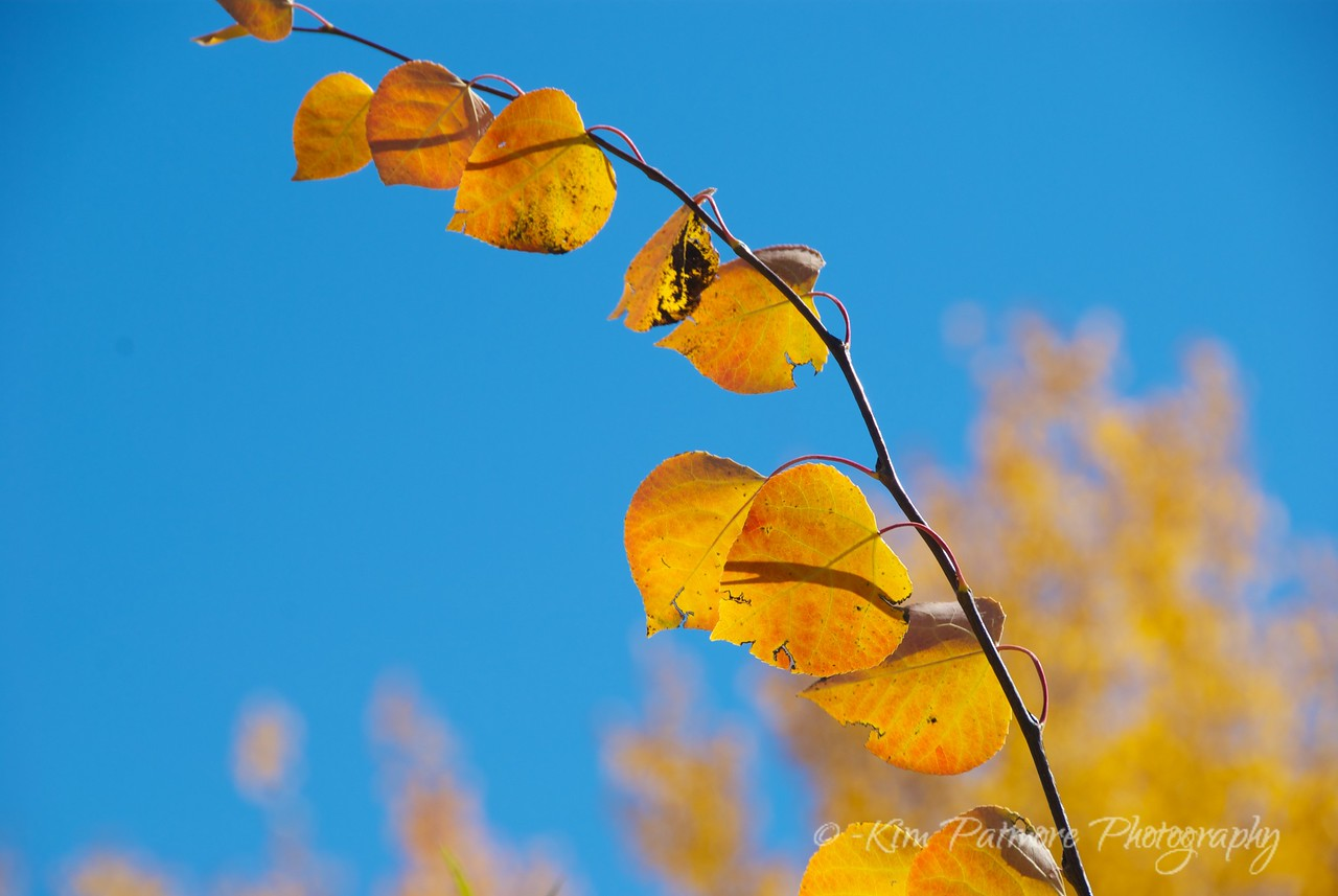 Aspen Leaves, Rocky Mountain National Park, Colorado