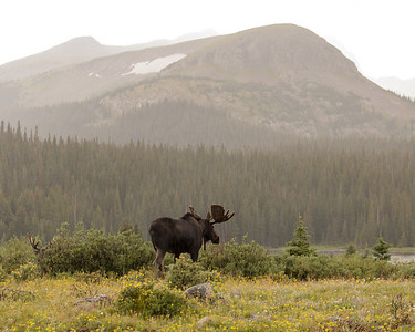 Moose In The Distance