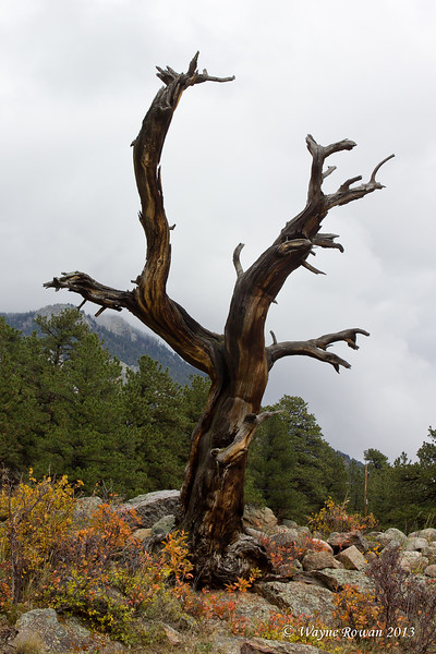 Grizzled Tree