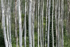 Quaking Aspens (populus tremuloides).  Grow in large clonal colonies.  Each individual tree can live for 40–150 years above ground, but the root system of the colony can live for 1000+ years. Gunnison County, Colorado.  8551' elevation.