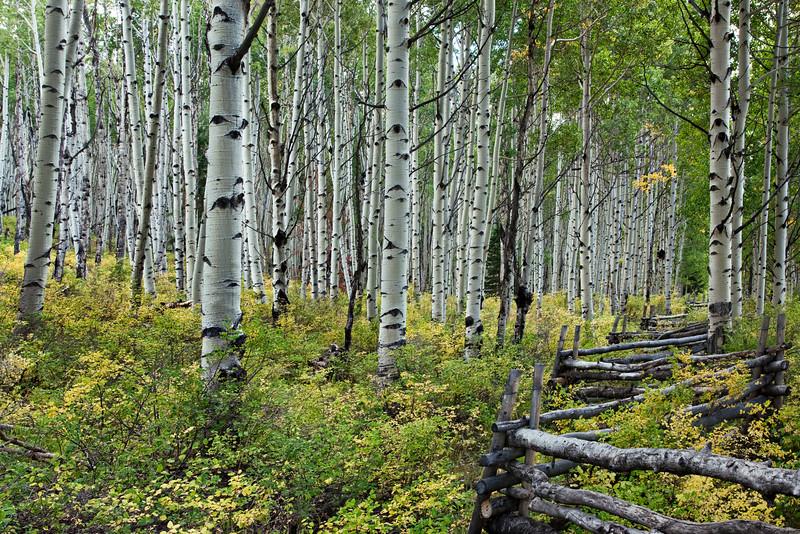 Aspen tree grove with rail fence