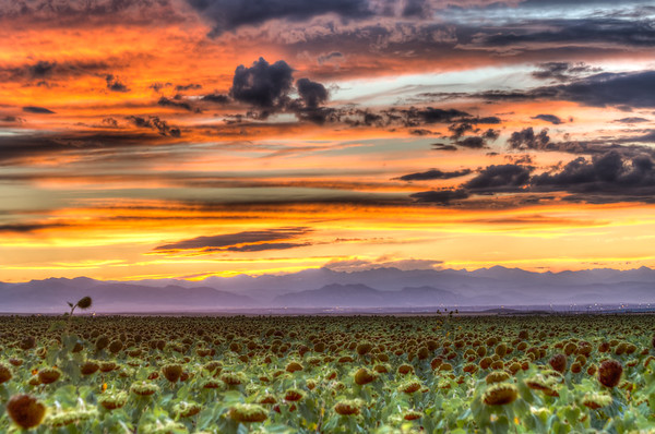 Shot during sunset in a sunflower field in Denver, CO