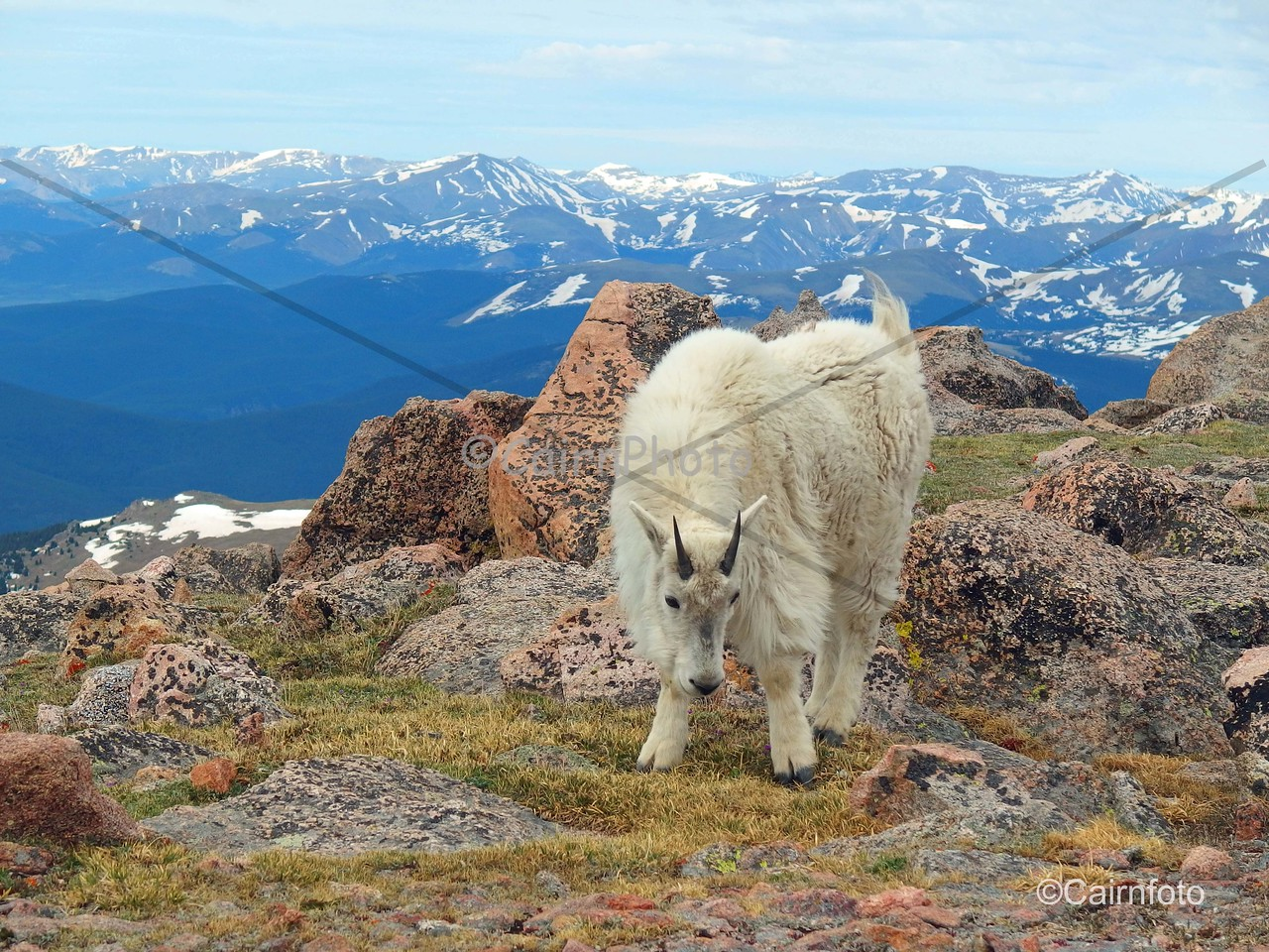 Mountain Goat on Mt. Evans