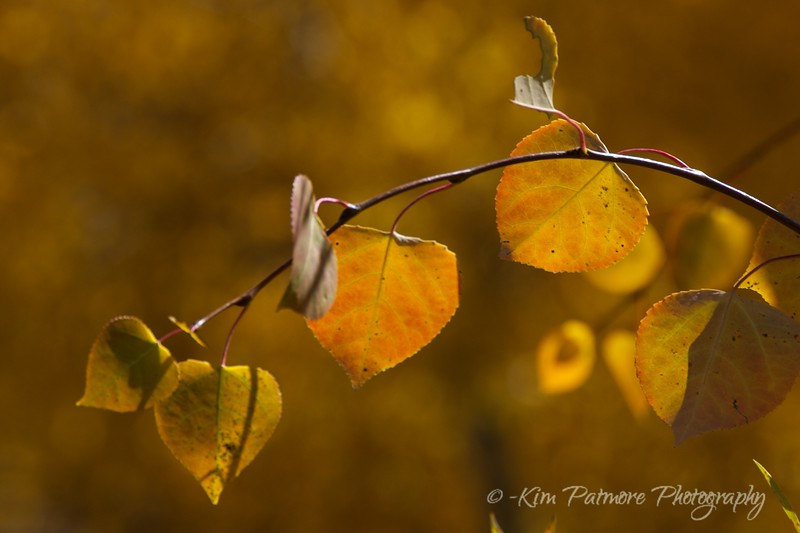 Aspen Leaves, Rocky Mountain National Park, Colorado