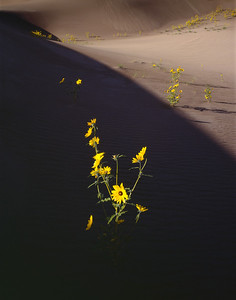 Great Sand Dunes National, COL/Monument. Prarie Sunflowers (Helianthus petiolaris) flowering on the dunes amid morning shadows. 892v8