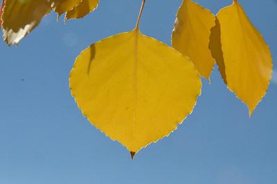 Single aspen leaf
