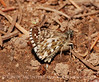 Alpine Checkered Skipper, San Juan Mts CO (10)