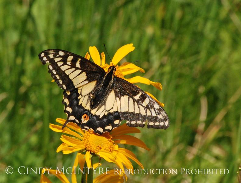 Anise Swallowtail, San Juan Mts CO (8)