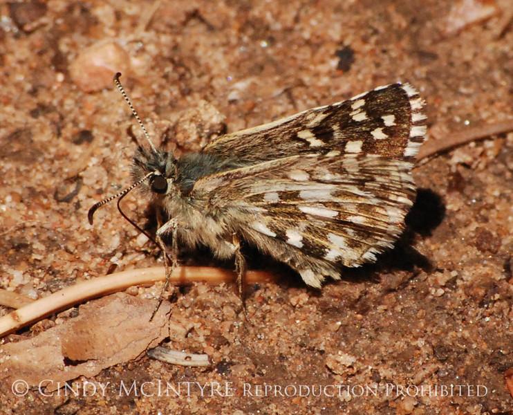 Alpine Checkered Skipper, San Juan Mts CO (9)