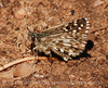 Alpine Checkered Skipper, San Juan Mts CO (9)