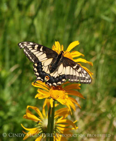 Anise Swallowtail, San Juan Mts CO (4)