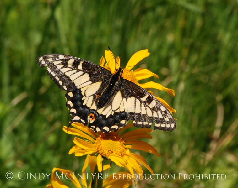 Anise Swallowtail, San Juan Mts CO (5)