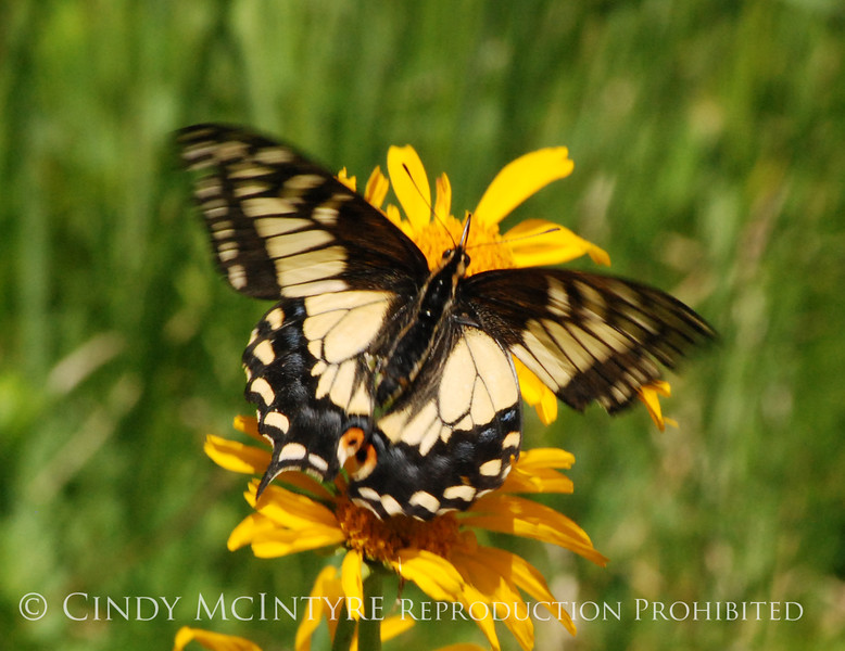 Anise Swallowtail, San Juan Mts CO (3)