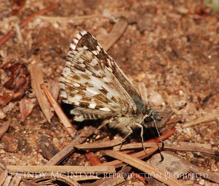 Alpine Checkered Skipper, San Juan Mts CO (11)