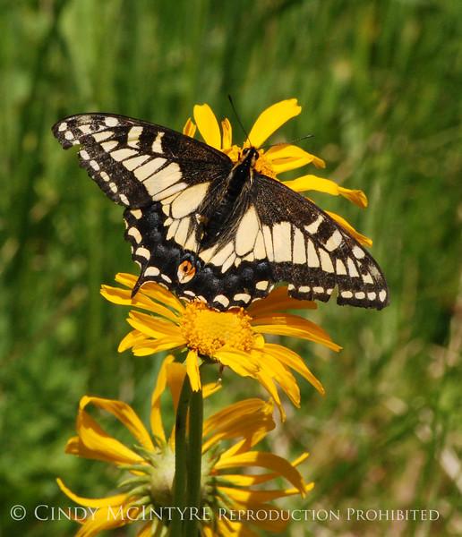 Anise Swallowtail, San Juan Mts CO (7)