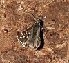 Alpine Checkered Skipper, San Juan Mts CO (6)