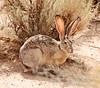 Black-tailed Jackrabbit, NM (12)