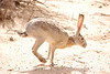 Black-tailed Jackrabbit, NM (24)